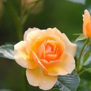 Roses & Climbers